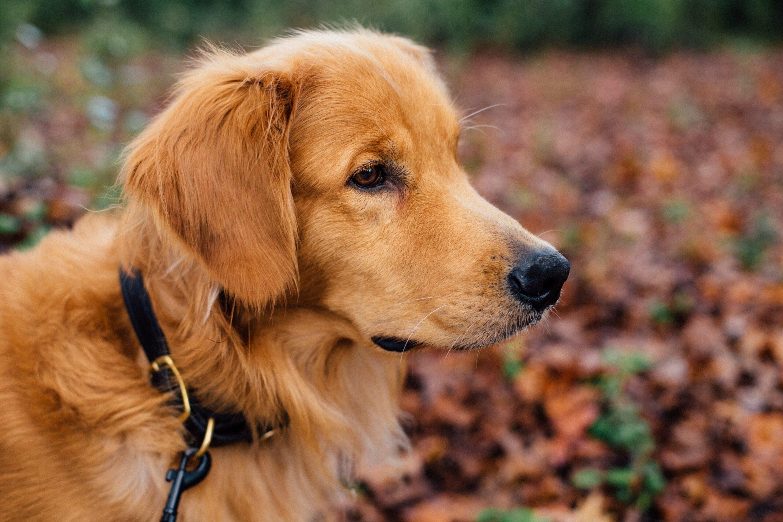 Hundehalsbånd – gør gåturen behagelig